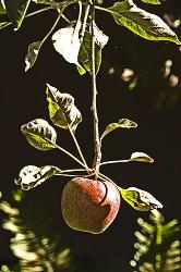 tree, fruit, apple, high contrast, leaves, tree, ripe, red