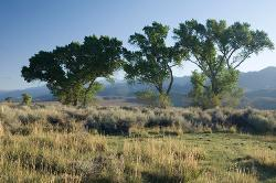 trees, Eastern Sierra, spring, Bishop, grove