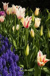 tulips, flowers, New York, Central Park, spring
