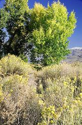 trees, mountains, Eastern Sierra, summer, Bishop